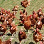 Karma mokra bez kurczaka