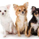 karmy dla małych psów
